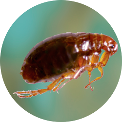 Different Types Of Fleas Diseases And Pest Control Services